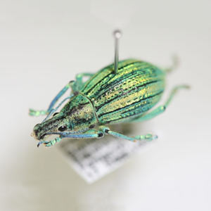 Pinned beetle specimen